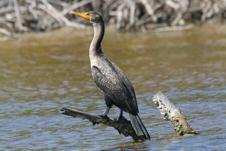 Cormorant (Phalacrocorax auritus), usually found near rivers, lakes and along the coastline and has a bare patch of orange-yellow facial skin. Here in El Cuyo Yucatan, Ria Lagartos Biosphere Reserve, Yucatan, Mexico photo