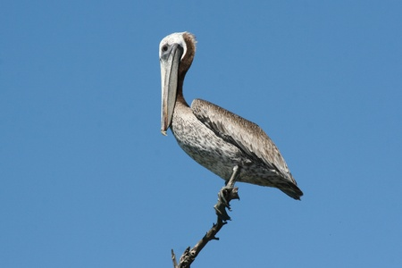 Pink-backed Pelican (Pelecanus rufescens) surveying the lake in Yucatan, Mexico. Stock Photo - 11768069