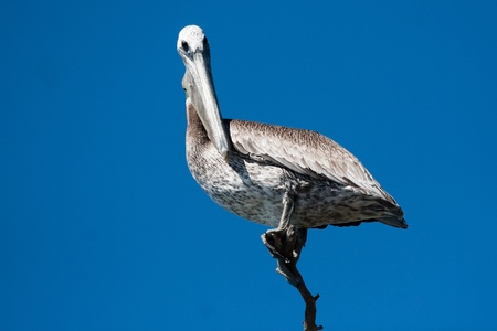 Pink-backed Pelican (Pelecanus rufescens) surveying the lake in Yucatan, Mexico. Stock Photo - 11768070