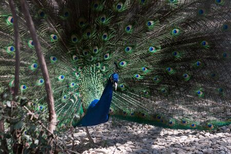 peafowl: Indian Peafowl, Pavo cristatus (Common Peafowl or the Blue Peafowl) feathers close-up.