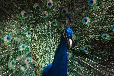 Indian Peafowl, Pavo cristatus (Common Peafowl or the Blue Peafowl) feathers close-up. Stock Photo - 11753946