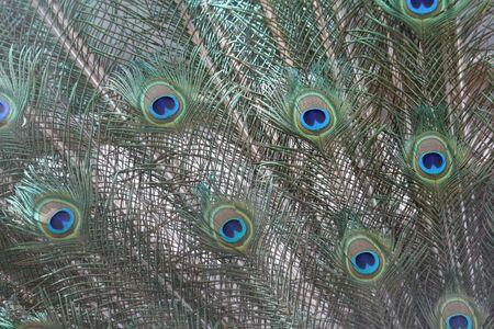 common peafowl: Indian Peafowl, Pavo cristatus (Common Peafowl or the Blue Peafowl) feathers close-up.