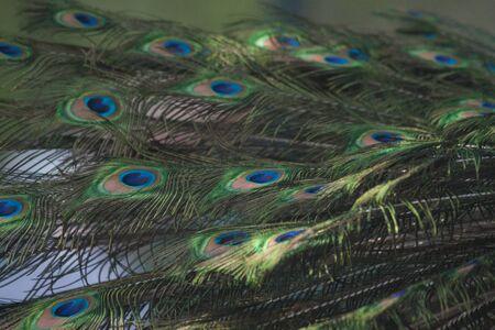 peacock wheel: Indian Peafowl, Pavo cristatus (Common Peafowl or the Blue Peafowl) feathers close-up.