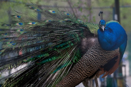 Indian Peafowl, Pavo cristatus (Common Peafowl or the Blue Peafowl) feathers close-up. photo