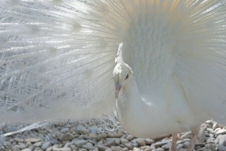 peacock wheel: Close-Up of a white Indian Peafowl, Pavo cristatus, showing off his plumage Stock Photo