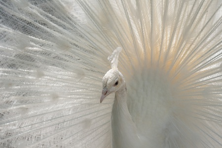 Close-Up of a white Indian Peafowl, Pavo cristatus, showing off his plumage 스톡 콘텐츠