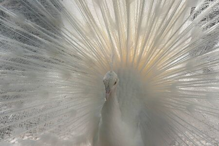 pavo: Close-Up of a white Indian Peafowl, Pavo cristatus, showing off his plumage Stock Photo