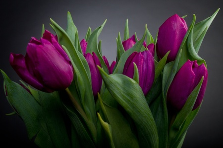 Bouquet of purple tulips over black background 스톡 콘텐츠