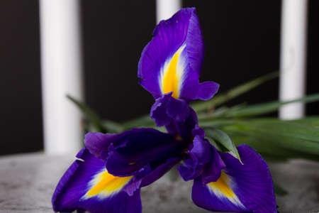 Blue Flag Iris on old white wooden chair Stock Photo - 11782315