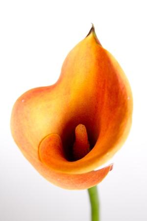 flores exoticas: Naranja Lirio de agua (Zantedeschia) sobre fondo blanco
