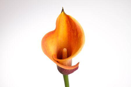 Orange Calla lily(Zantedeschia) over white Stock Photo - 11782295