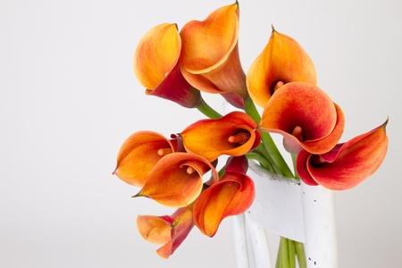 Orange Calla lilies(Zantedeschia) over white  photo
