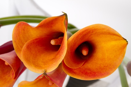 Orange Calla lilies(Zantedeschia) over white