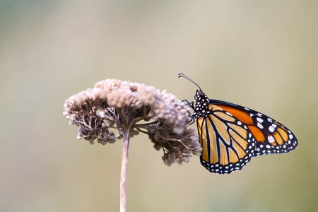 A beautiful monarch butterfly (Danaus plexippus, the Wanderer) on a dry plant in High Line Park, New York. photo