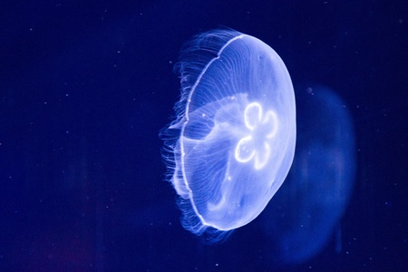 Aurelia aurita (moon jelly, moon jellyfish, common jellyfish, saucer jelly). The medusa is translucent, usually about 25-40 cm across, and can be recognized by its four horseshoe-shaped gonads that are easily seen through the top of the bell. photo