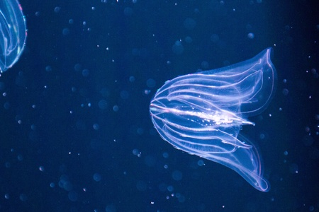 phylum: Ctenophora (comb jellies) are a phylum of animals that live in marine waters worldwide