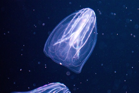 Ctenophora (comb jellies) are a phylum of animals that live in marine waters worldwide Stock Photo - 11830765
