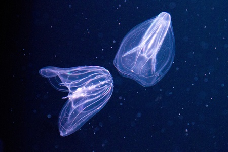 live coral: Ctenophora (comb jellies) are a phylum of animals that live in marine waters worldwide