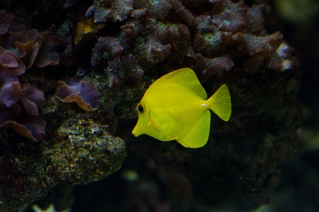 oceanarium: The yellow tang (Zebrasoma flavescens) is a saltwater fish species of the family Acanthuridae (surgeonfish family)