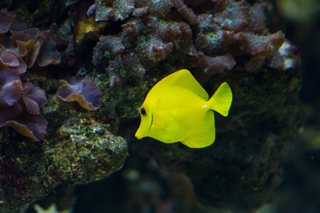 The yellow tang (Zebrasoma flavescens) is a saltwater fish species of the family Acanthuridae (surgeonfish family) Stock Photo - 11830854