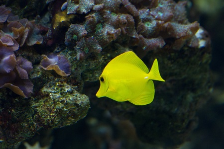 The yellow tang (Zebrasoma flavescens) is a saltwater fish species of the family Acanthuridae (surgeonfish family) Stock Photo - 11830855