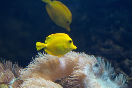 yellow tang: The yellow tang (Zebrasoma flavescens) is a saltwater fish species of the family Acanthuridae (surgeonfish family)