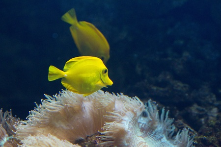 The yellow tang (Zebrasoma flavescens) is a saltwater fish species of the family Acanthuridae (surgeonfish family) Stock Photo - 11830948
