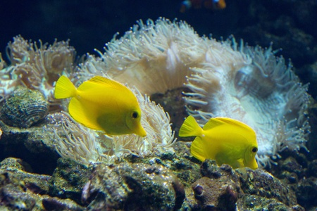 The yellow tang (Zebrasoma flavescens) is a saltwater fish species of the family Acanthuridae (surgeonfish family) Stock Photo - 11830850
