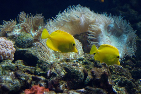 bubble sea anemone: The yellow tang (Zebrasoma flavescens) is a saltwater fish species of the family Acanthuridae (surgeonfish family)