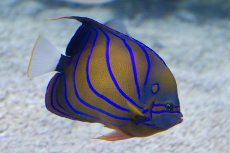 A striped ink and blue tropical fish, with a pale of yellow. Stock Photo