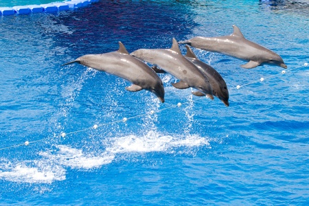 Bottlenose dolphins playing in the water photo