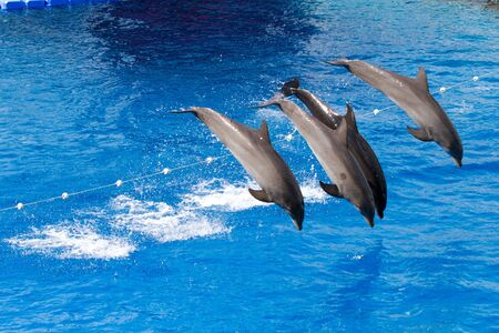 Bottlenose dolphins playing in the water Stock Photo - 11828257