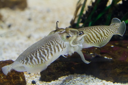 despite: Cuttlefish (Sepiidae) are marine animals of the order Sepiida. They belong to the class Cephalopoda (which also includes squid, octopuses, and nautiluses). Despite their name, cuttlefish are not fish but molluscs.