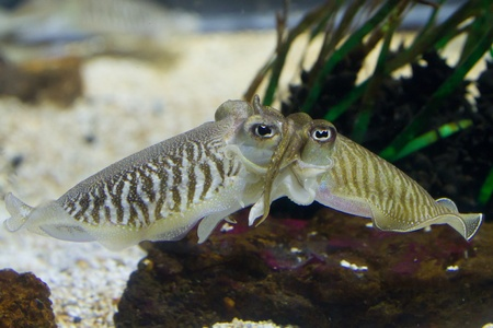 Cuttlefish (Sepiidae) are marine animals of the order Sepiida. They belong to the class Cephalopoda (which also includes squid, octopuses, and nautiluses). Despite their name, cuttlefish are not fish but molluscs. photo