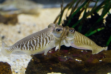 Cuttlefish (Sepiidae) are marine animals of the order Sepiida. They belong to the class Cephalopoda (which also includes squid, octopuses, and nautiluses). Despite their name, cuttlefish are not fish but molluscs. Stock Photo - 11873131