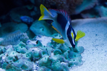 Tropical fish in black, white and yellow swimming photo