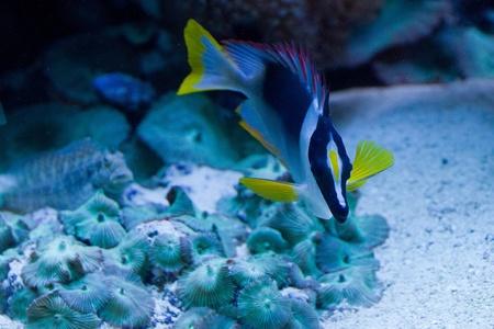 rabbitfish: Tropical fish in black, white and yellow swimming Stock Photo