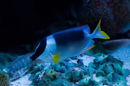 rabbitfish: Rabbitfishes or spinefoots are perciform fishes in the family Siganidae
