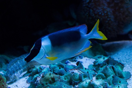Rabbitfishes or spinefoots are perciform fishes in the family Siganidae Stock Photo - 11897113