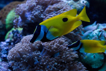 Foxface Rabbitfish (Siganus vulpinus) in the aquarium Stock Photo - 11897115
