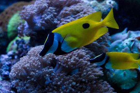 Foxface Rabbitfish (Siganus vulpinus) in the aquarium Stock Photo - 11897115