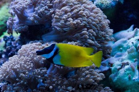 rabbitfish: Foxface Rabbitfish (Siganus vulpinus) in the aquarium