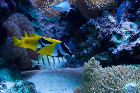 Foxface Rabbitfish (Siganus vulpinus) in the aquarium photo