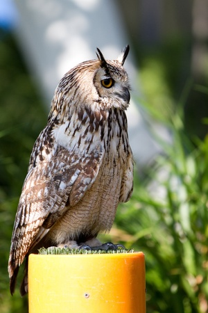 conspicuous: Owls (Strigiformes) have large forward-facing eyes and ear-holes; a hawk-like beak; a flat face; and usually a conspicuous circle of feathers, a facial disc, around each eye.