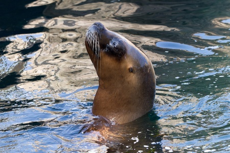 Sea lion in the water photo