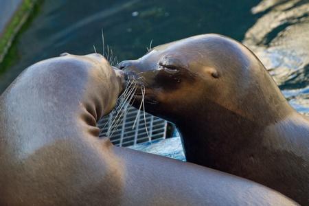 Kissing sea lions photo