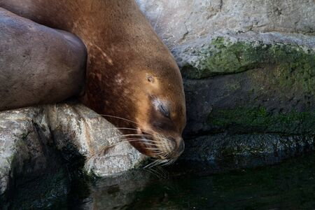 characterized: Sea lions are pinnipeds characterized by external ear flaps, long foreflippers, the ability to walk on all fours, and short, thick hair.