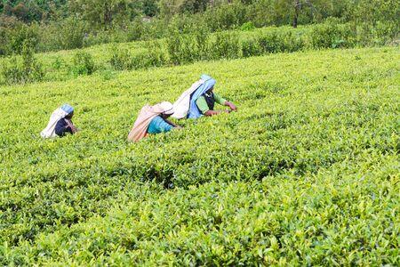 Tea Plantation Field with workers in Nuwara Eliya, Sri Lanka, 11 December 2007. Stock Photo - 11829700