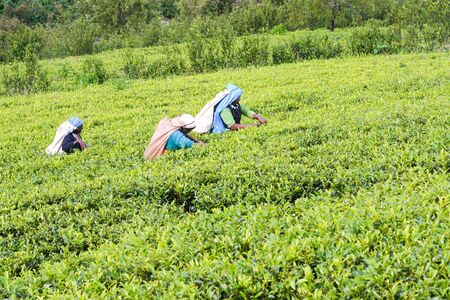 Tea Plantation Field with workers in Nuwara Eliya, Sri Lanka, 11 December 2007.