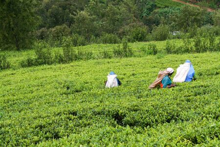Tea Plantation Field with workers in Nuwara Eliya, Sri Lanka, 11 December 2007.
